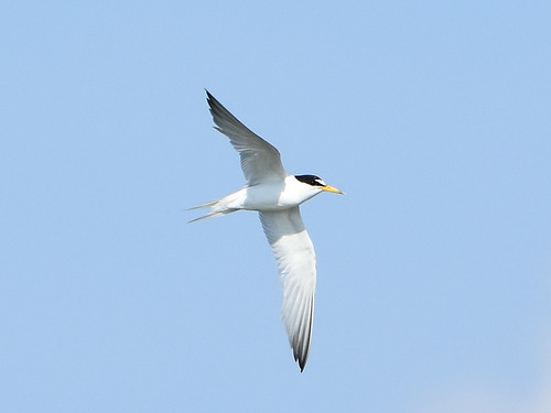 Least Tern 8-22-19