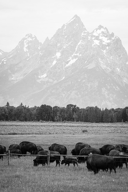 Bison grazing at Elk Ranch Flats, Grand Teton National Park. July, 2019.