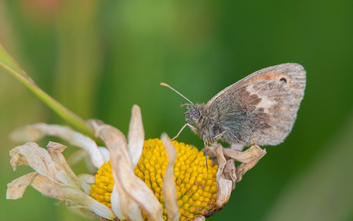 Small heath butterfly - Coenonympha pamphilus - Hooibeestje