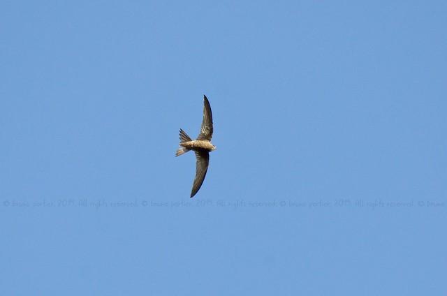 Martinet pâle, Pallid Swift (Apus pallidus) - Rome, ITALY