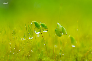 Raindrops in fields of green/yellow | by walksthewildside