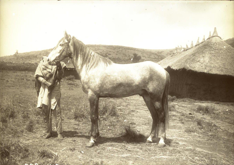 314. 1899. Абиссиния, Аддис-Абеба. Лошадь врача Драгомирова
