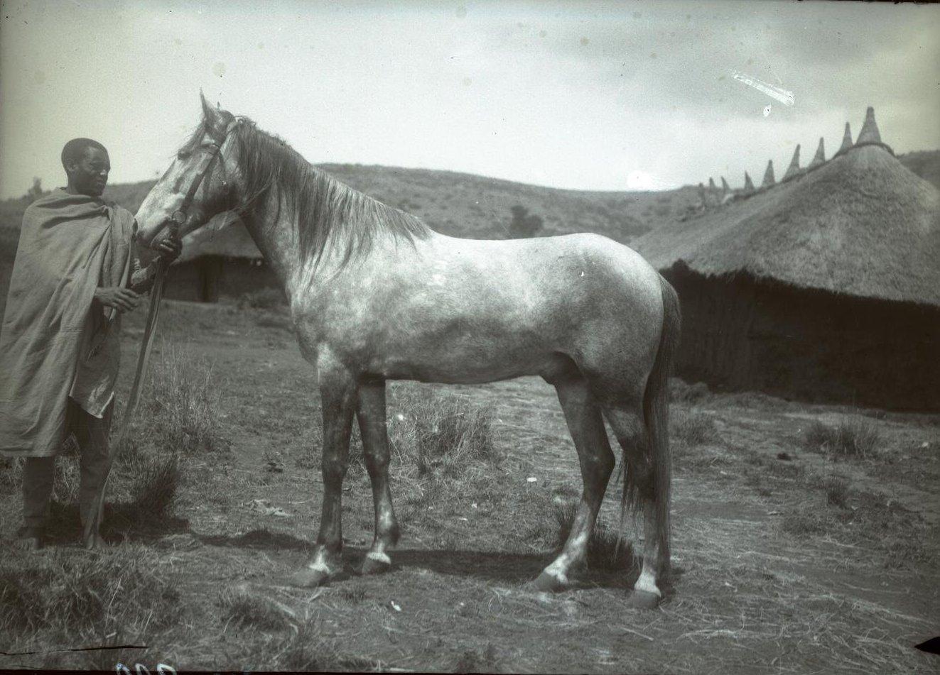 313. 1899. Абиссиния, Аддис-Абеба. Лошадь врача Драгомирова