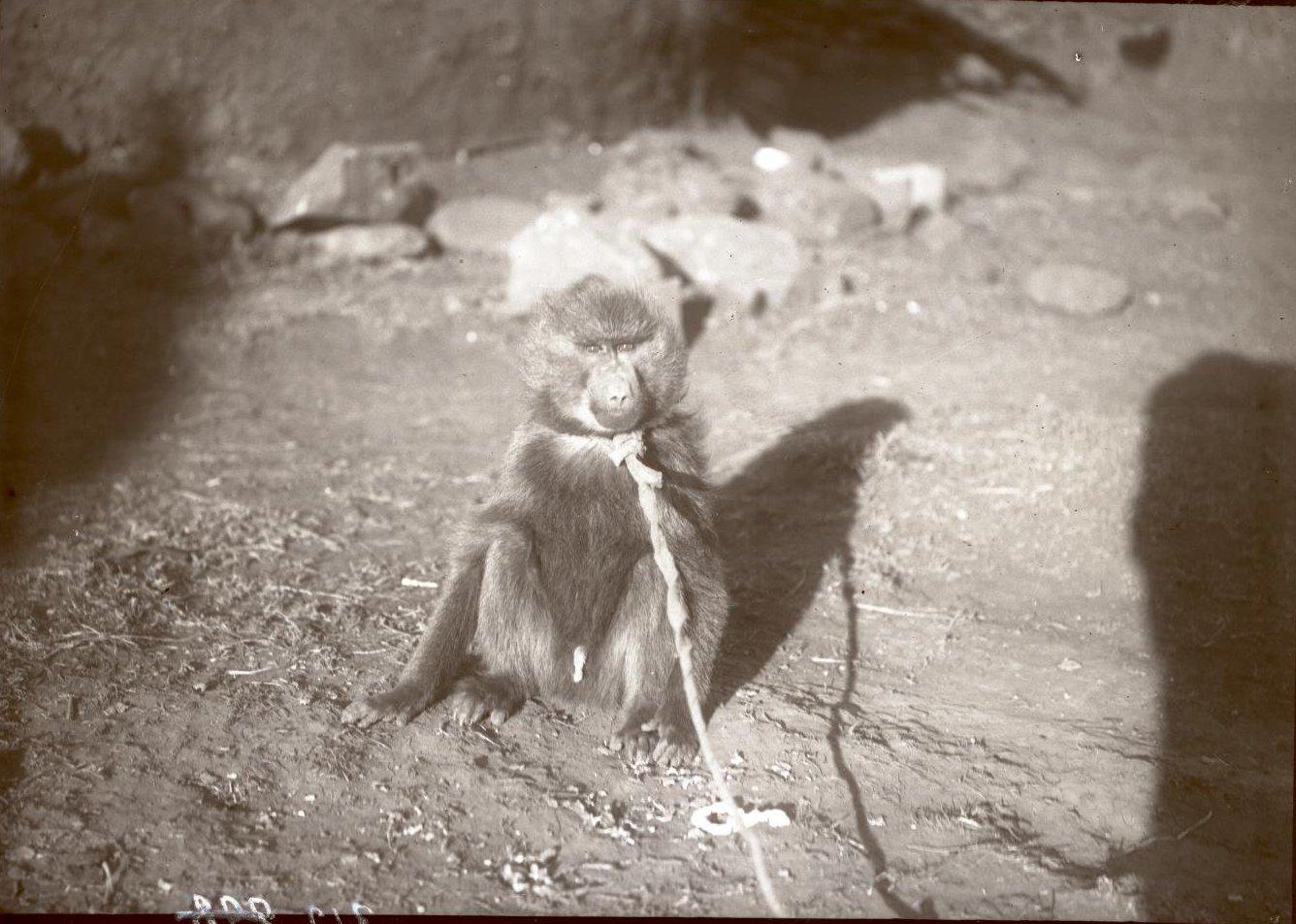 312. 1899. Абиссиния, Аддис-Абеба. Обезъянка
