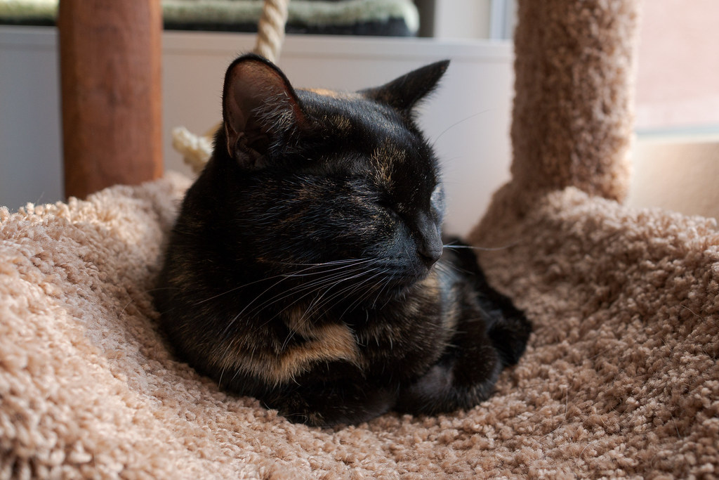 Our tortoiseshell cat Trixie sleeps on the cat tree at our rental house in Scottsdale, Arizona in December 2018