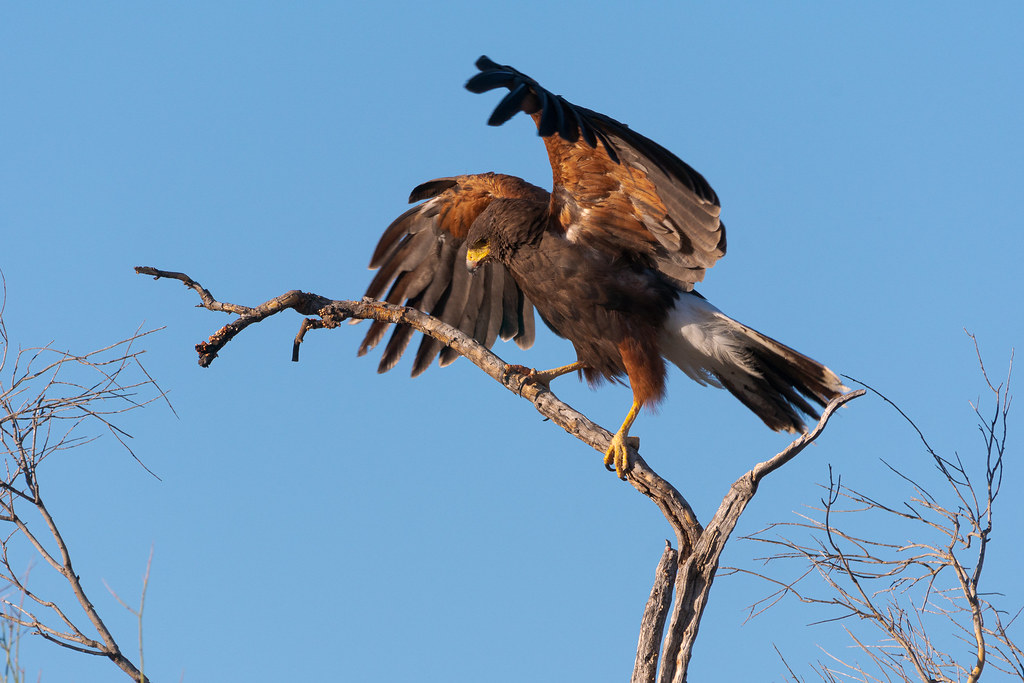 A Harris's hawk flares out its wings to maintain its balance as it walks along a dead tree branch beside the Chuckwagon Trail in McDowell Sonoran Preserve in Scottsdale, Arizona in May 2019