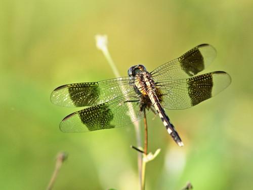 Band-winged Dragonlet- Erythrodiplax umbrata 01-20190908