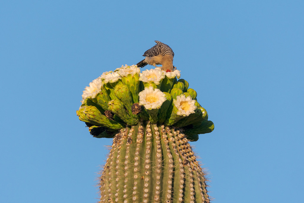 A male Gila woodpecker sticks his entire head into a saguaro blossom as he feeds along the Chuckwagon Trail in McDowell Sonoran Preserve in Scottsdale, Arizona in May 2019