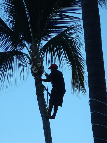 Pruning a tall coconut palm tree in Puerto Vallarta, Mexico