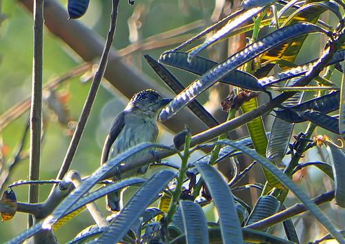 Carpinterito Punteado, Grayish Piculet (Picumnus granadensis)