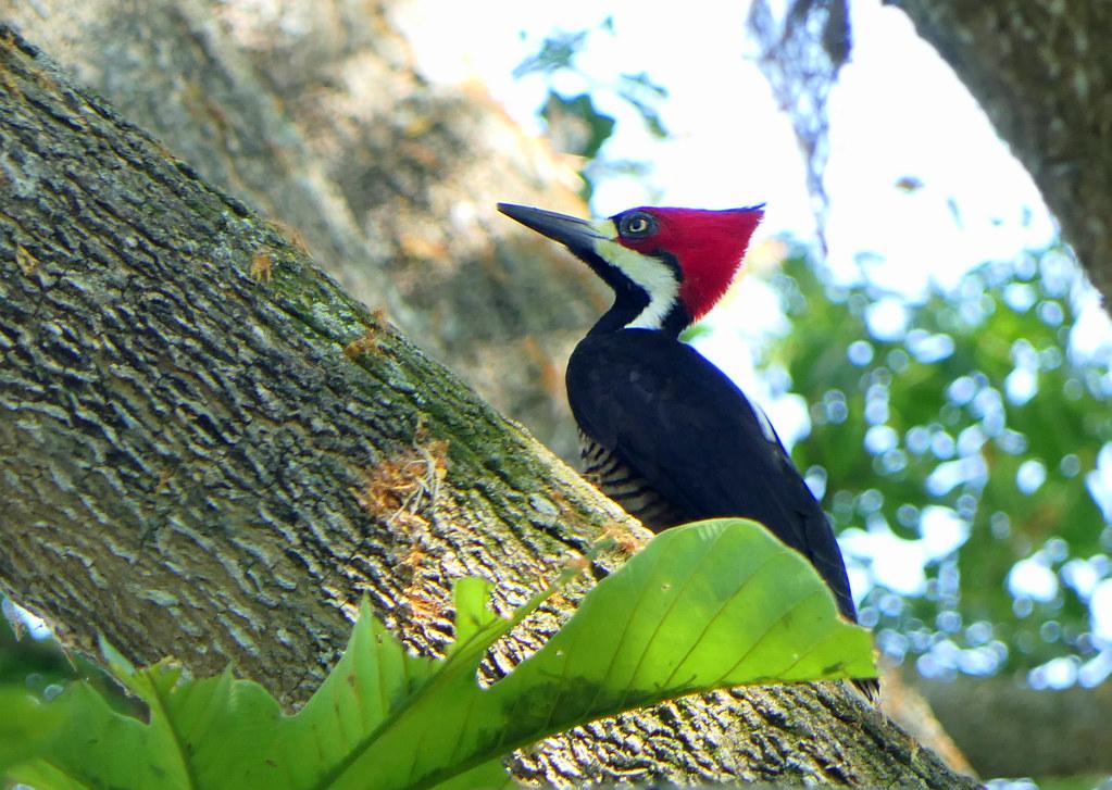 Carpintero Marcial, Crimson-crested Woodpecker (Campephilus melanoleucos) (Campephilus melanoleucos malherbii)