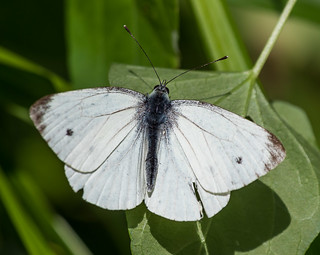 Sevenoaks 08.09.19 Small White