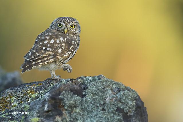 Mocho-galego; Little owl (Athene noctua)