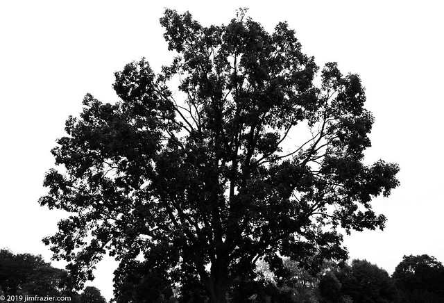 Contrasty Bur Oak