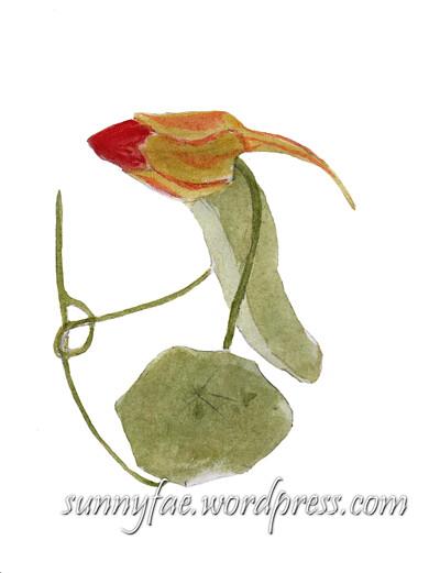 watercolour nasturtium bud
