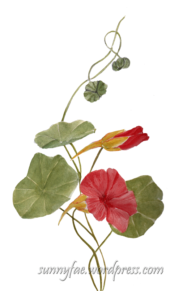 nasturtium painted with watercolour