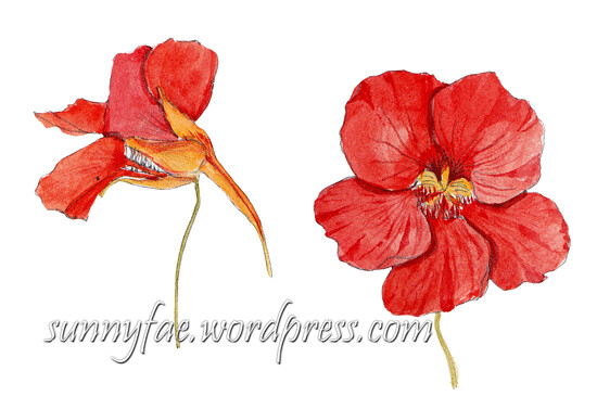 2 watercolour nasturtium flowers