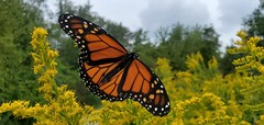 Butterfly in Lake Erie Bluffs