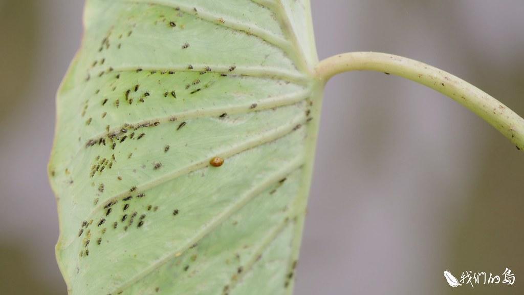 蘭嶼人稱芋頭的蟲害為Icik,這些害蟲包括條斑飛蝨、斜紋夜蛾、根螨、葉螨、蚜蟲等等。