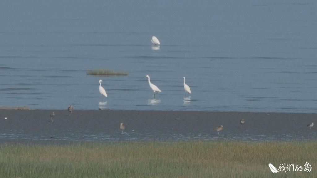 高美濕地擁有豐富的魚、蟹生態,同時也是鳥類天堂。