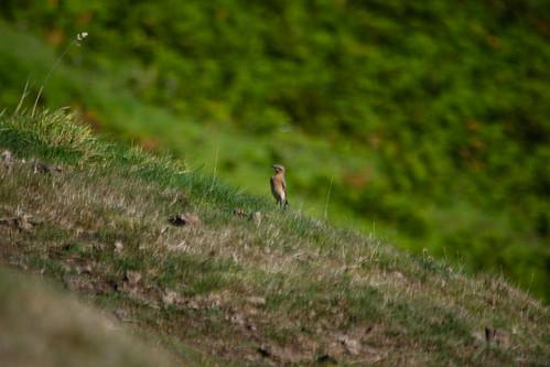 Wheatear, Malvern slopes