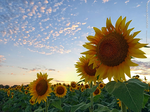 kansas leavenworthcounty reno sunflower sunflowers sunflowerfield sunflowerfields grinterfarms grinterfarmssunflowers sunflowergeneralstore flower flowers color colour colors colours landscape bluesky yellow green blue rural country september 2019 september2019 latesummer latesummer2019 evening sunset usa