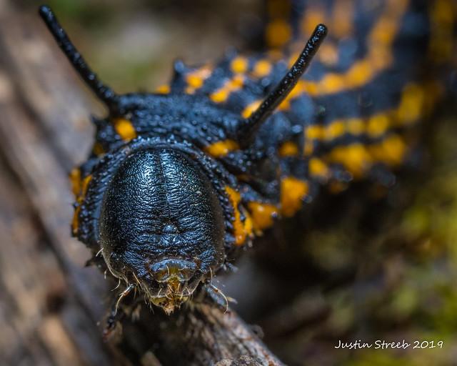 Orange-tipped Oakworm