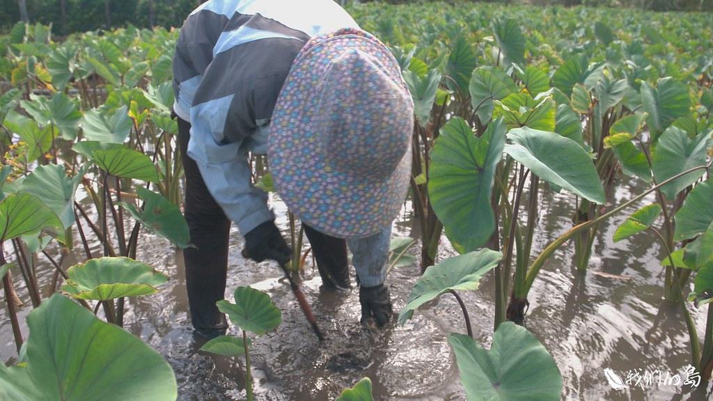 蘭嶼的婦女會依照每塊田的水質與土壤特性去布署、種植適合的芋頭。