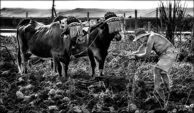 Des boeufs et des hommes /  Oxen and men