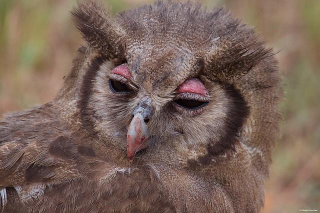 IMGP2983 Verreaux's eagle-owl