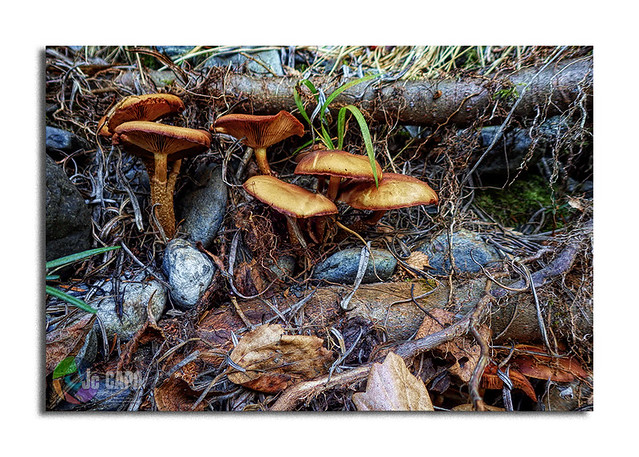 """CORTINAIRE Couleur de Faon: """"Nous étions douze à table. Du jour au lendemain, un plat de champignons me laissa seul au monde.."""" De Sacha Guitry"""