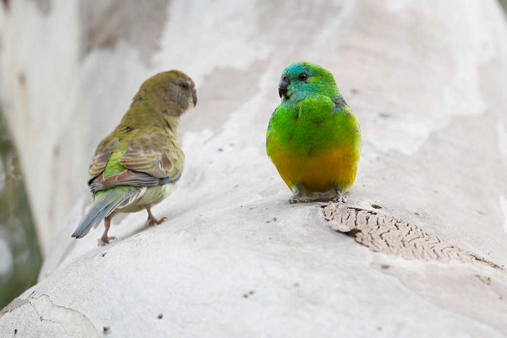 Red-rumped Parrot: Keep an eye on the kids dear!