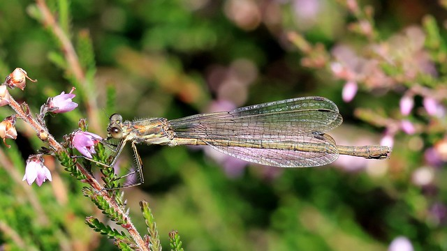 Emerald Damselfly (f) - Lestes sponsa
