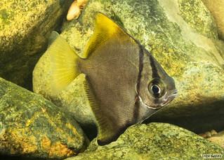 Moonyfishes or Butter Bream (Monodactylus argenteus) in the Freshwater Reaches of the Brisbane River Queensland Australia.