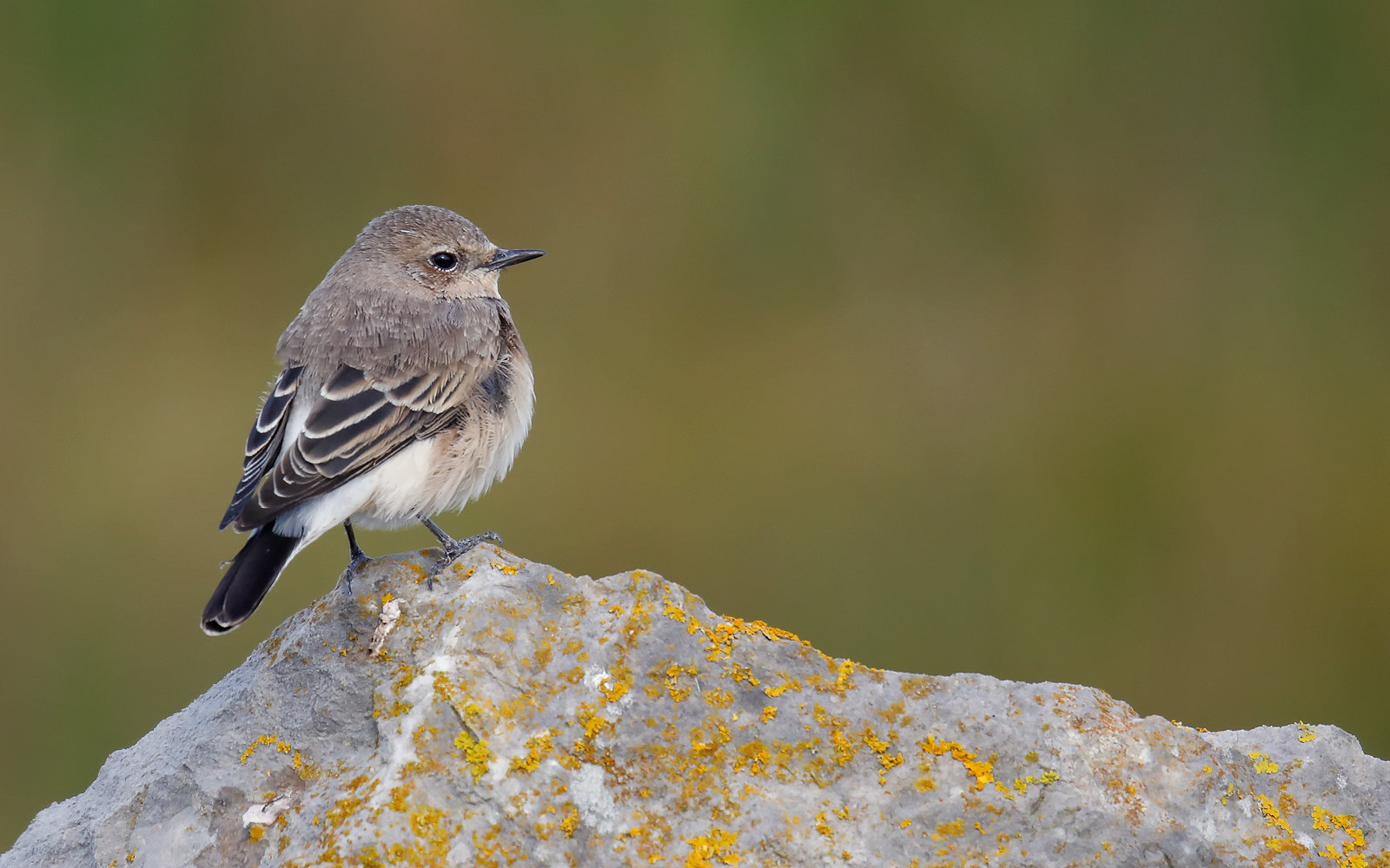 Eastern Black-eared Wheatear - female