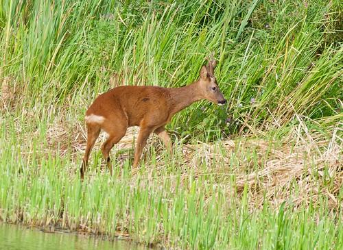 Roe Deer Chevreuil