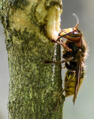 European hornet on lilac
