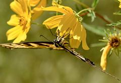 tiger swallowtail, tickseed