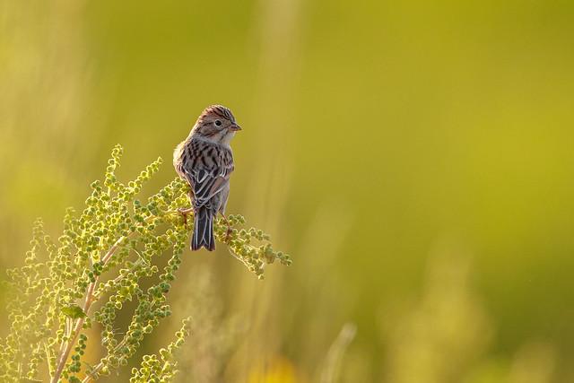 Clay-colored Sparrow (?)
