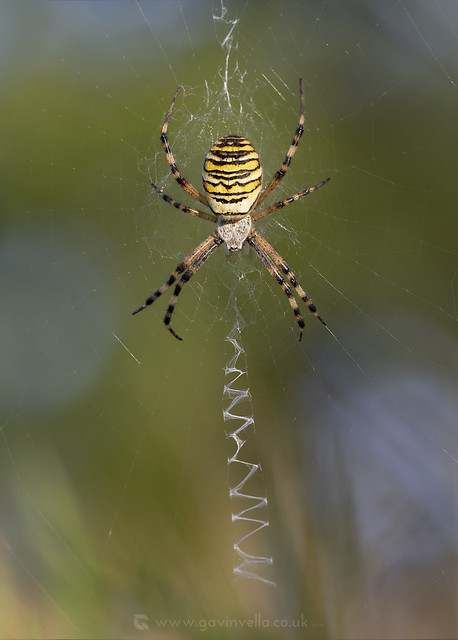 Wasp Spider 1W 8th September