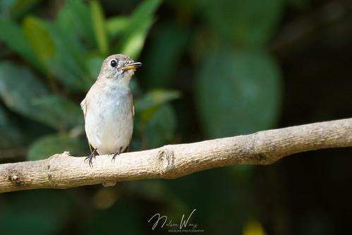 Asian Brown Flycatcher (Muscicapa dauurica) 北灰鶲