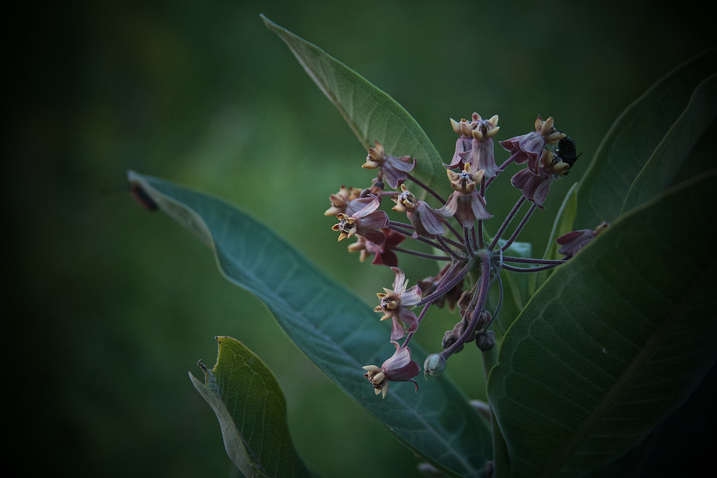 post bloom, at dusk, 7-19-19