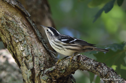 Black-and-white Warbler_9291_00001-001