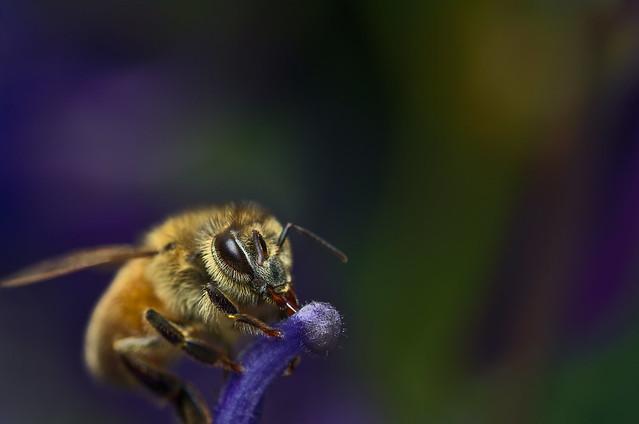 Honey bee drinking aquilegia nectar