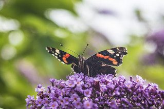 Admiral Of The Buddleja