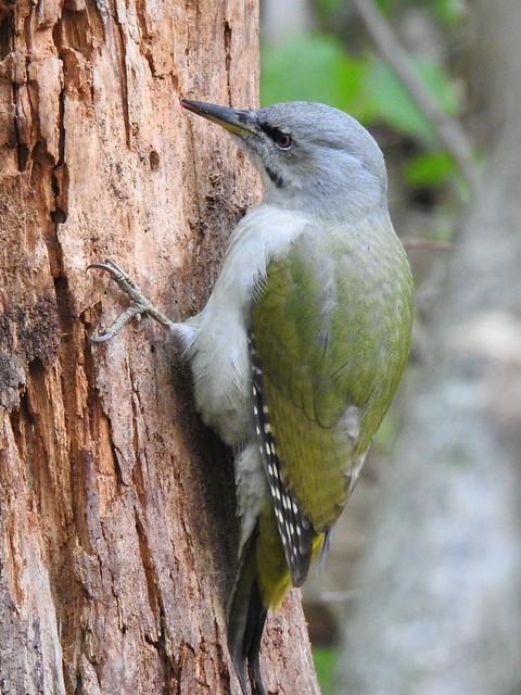 Grey-headed Woodpecker ♀ (Picus canus)