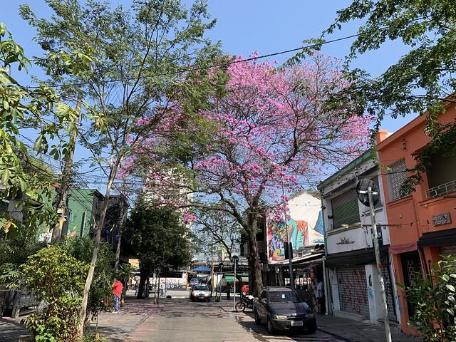 The Pink Trumpet Tree, São Paulo (winter - 33ºC), Brazil.