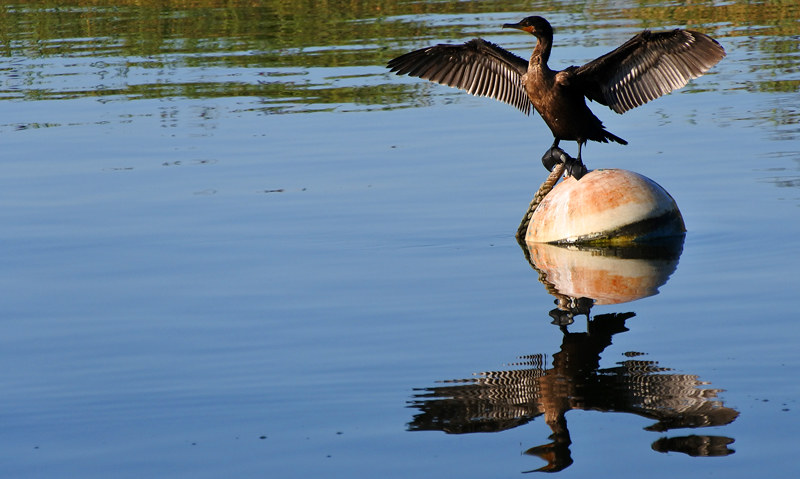 Cormorant on a ball