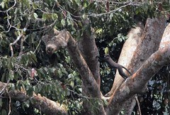 Putty-nosed monkey at Langoue Bai, Ivindo National Park, Gabon