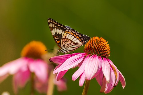 Western White Admiral Butterfly
